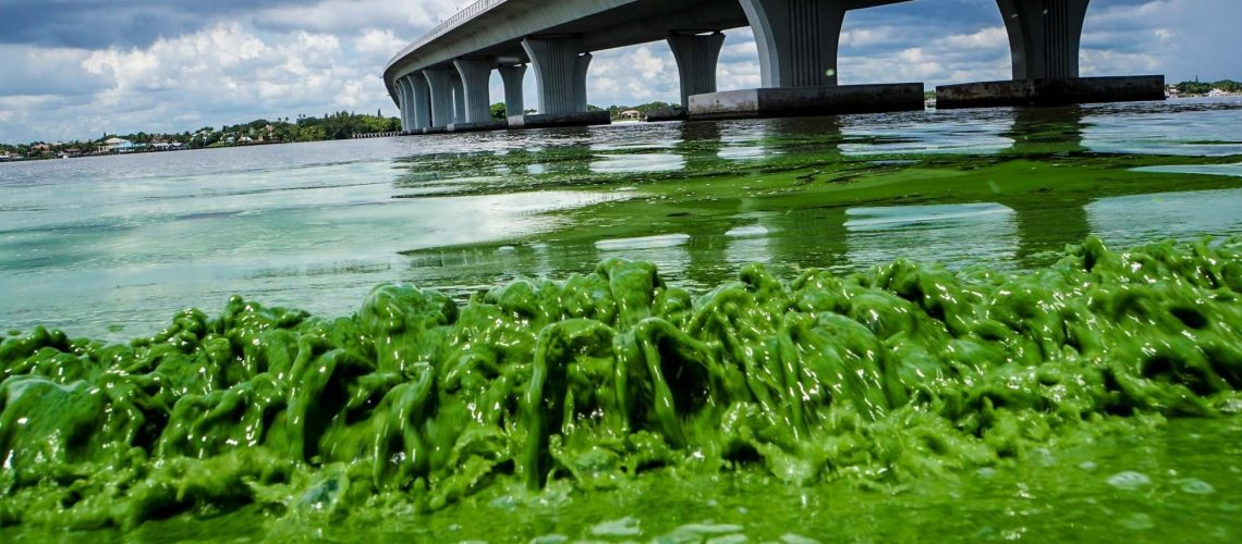 Water full of algae laps along the Sewell's Point shore on the St. Lucie River under an Ocean Boulevard bridge.